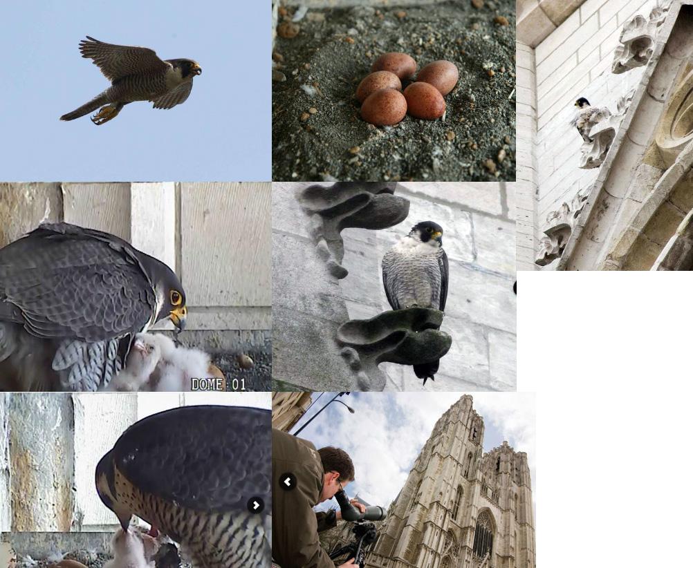 Des faucons pèlerins font de la téléréalité à Bruxelles ! - Please Surprise  Me!